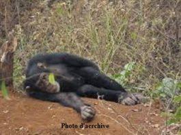Bossou chimpanzés